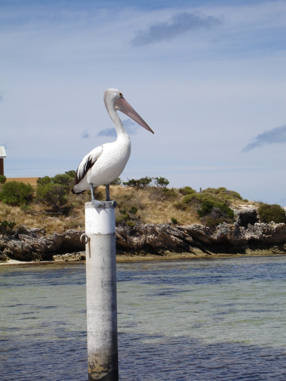Pelican at Rottnest Island, Perth