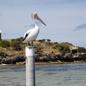 Pelican at Rottnest - Perth WA